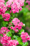 Blomstra hagtorn med nyckelpigan Royaltyfri Fotografi
