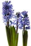Blomstra hyacintblomma som isoleras på vit Royaltyfri Bild