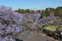 Blomstra jakarandan på gatorna av Pretoria royaltyfria foton