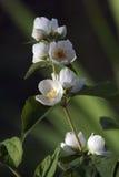 blomstra jasmin Royaltyfri Fotografi