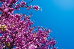 Blomstra judasträdfilialer med rosa färgblommor och blå himmel i vår Arkivfoto