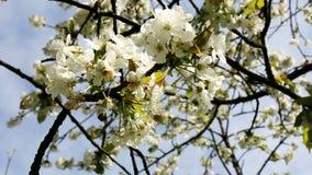 Blomstra körsbärfilialer arkivfilmer