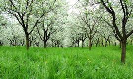 Blomstra körsbärsröda träd Royaltyfria Bilder
