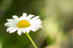 Blomstra kamomill i solljus Royaltyfria Foton