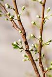 Blomstra knoppar av en plommon Royaltyfri Fotografi