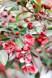 Blomstra knoppar av rosa körsbärsröda blomningar Arkivbild