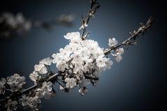 Blomstra knoppar och blommor av körsbäret och plommonet royaltyfria foton