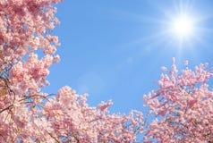Blomstra körsbärsröda trees och sunen Arkivbild