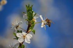 Blomstra körsbärsrött treeblommor och bi Fotografering för Bildbyråer