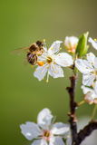 Blomstra körsbärsrött treeblommor och bi Royaltyfri Foto