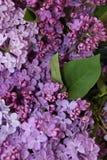 blomstra lila Royaltyfria Foton