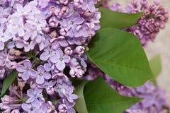 blomstra lila Royaltyfri Bild