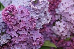 blomstra lila Arkivbilder