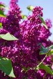 blomstra lila royaltyfri fotografi