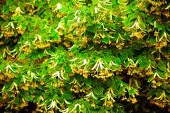 blomstra linden Arkivbilder
