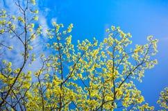 Blomstra lindfilialer med gula blommor royaltyfria foton