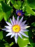 Blomstra lotusblomma över vattnet Arkivfoton