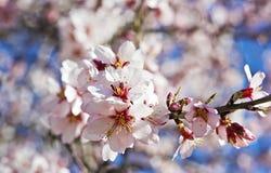 Blomstra mandelfilialen Arkivfoton