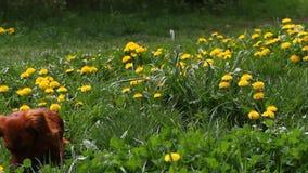 Blomstra maskrosTaraxacumfältet med lösa fågelsånger och den longhair taxen för skönhet Gula maskrosor på grön äng stock video