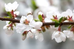 Blomstra Nanking körsbärsröd Prunustomentosa Härliga vita kronblad lövfällande buske, trädgårds- plats för vår Moget frö av grana royaltyfri fotografi
