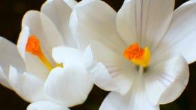 Blomstra och växande vårmakrotimelapse för blommakrokus arkivfilmer