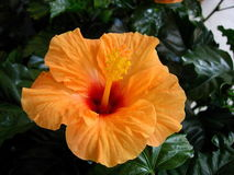 blomstra orange Royaltyfri Bild