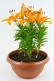 Blomstra orange liljor Royaltyfria Bilder