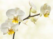 Blomstra orchids Arkivbilder