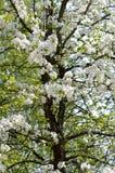 Blomstra päronträdet Arkivbilder