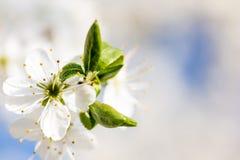 Blomstra på ett träd i den ljusa solen, special ingate Arkivfoto
