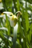 Blomstra påskliljan Royaltyfri Foto