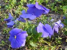 Blomstra pansies Arkivfoton
