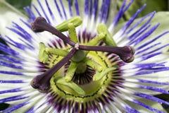 Blomstra passion arkivfoto