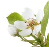 blomstra pearen royaltyfria foton