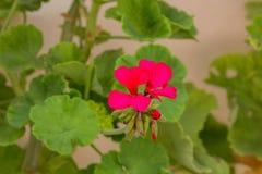 Blomstra pelargonblomman Arkivfoto