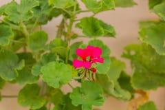Blomstra pelargonblomman Royaltyfri Fotografi