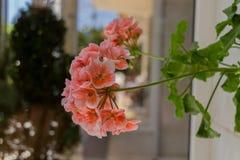 Blomstra pelargonblommor Royaltyfria Bilder