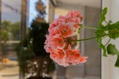 Blomstra pelargonblommor Arkivbilder