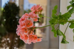 Blomstra pelargonblommor Arkivfoto