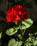Blomstra pelargonian som blommar houseplanten som är röd Fotografering för Bildbyråer