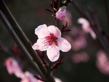 Blomstra persikablomningen Arkivfoto