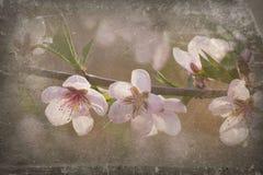 blomstra persikan Arkivfoto