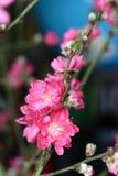 blomstra persikan Royaltyfri Foto