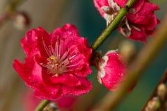blomstra persikan Royaltyfria Foton