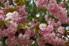 Blomstra persikaträdfilialer Royaltyfri Bild