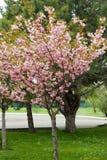 Blomstra persikaträdfilialer Fotografering för Bildbyråer