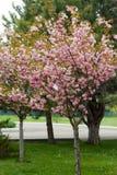 Blomstra persikaträdfilialer Royaltyfri Fotografi