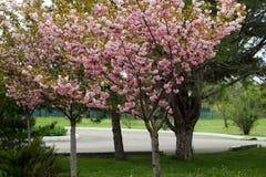 Blomstra persikaträdfilialer Arkivfoto