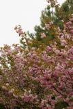 Blomstra persikaträdfilialer Royaltyfria Bilder