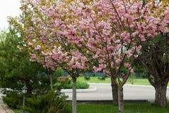 Blomstra persikaträdfilialer Royaltyfri Foto